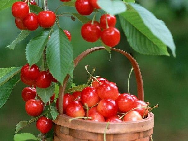 Смачна, солодка, свіжа черешня: опис, корисні властивості, калорійність