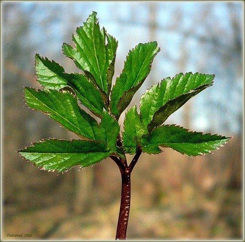Рослина снить звичайна (яглиця) – рецепт: солона заготовка на зиму.