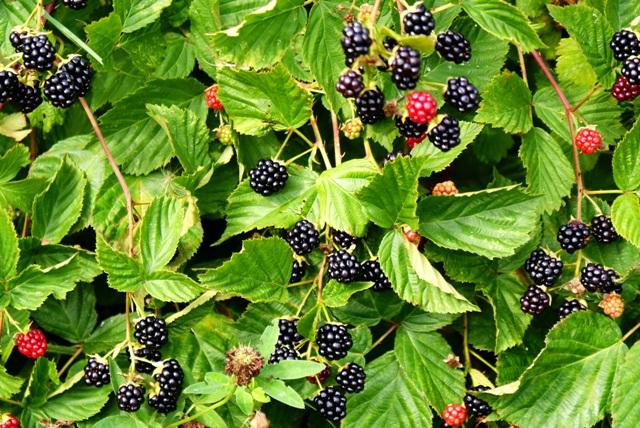 Ожина – лісова ягода: опис, лікувальні та корисні властивості ожини.