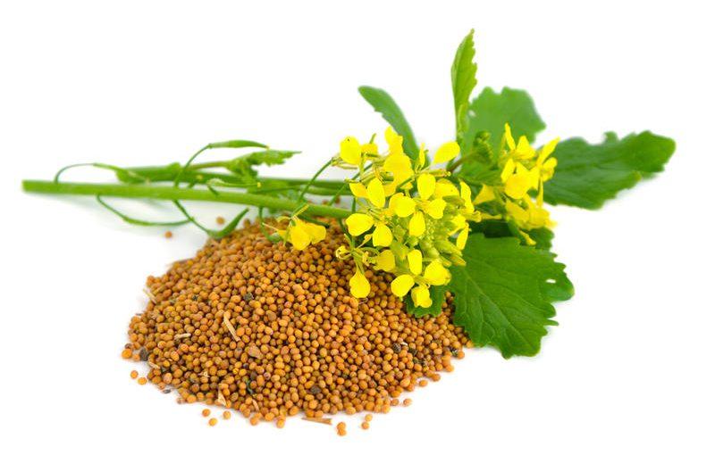 Гірчиця і її властивості, що застосовуються в кулінарії і косметології. Користь гірчиці і шкода для організму.