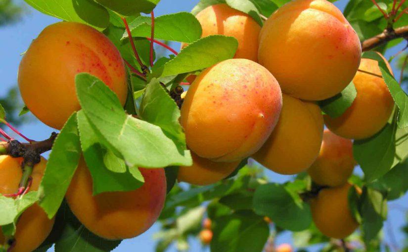 Два способи заморозки абрикос на зиму