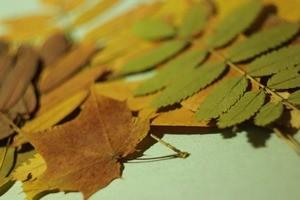 Гербарій з листя – як правильно сушити листя для гербарію