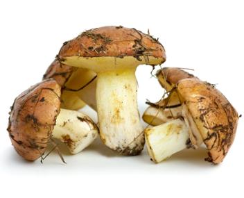 Маслюки: як сушити гриби в домашніх умовах – сушені маслюки на зиму