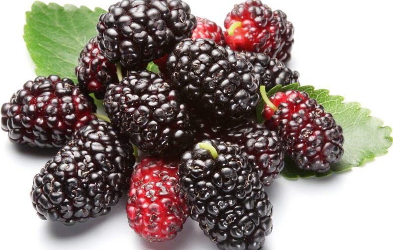 Шовковиця сушена: як сушити ягоди, листя і кору – сушимо шовковицю в домашніх умовах
