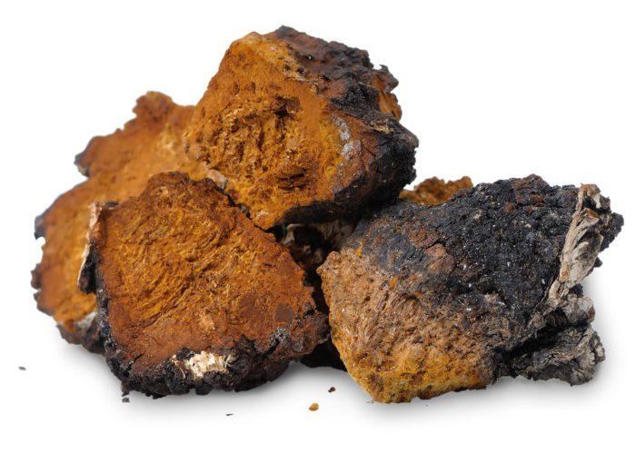 Гриб чага: правила збору і сушіння березової чаги – заготівля чаги в домашніх умовах