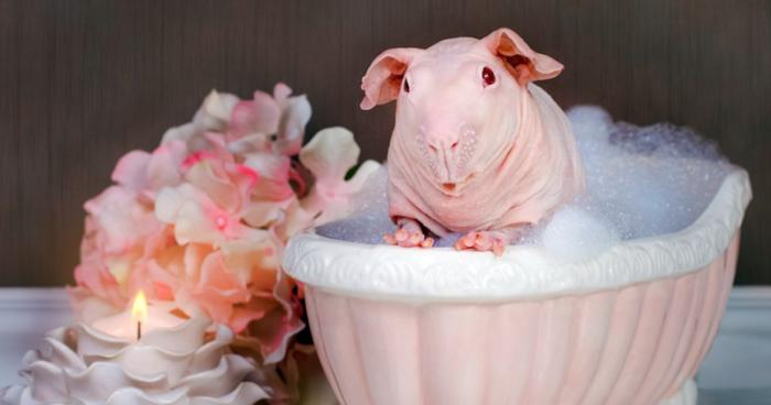 Красиві картинки морських свинок - смішні та прикольні заставки 2019