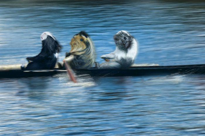 Новорічні картинки про морських свинок - прикольні і смішні шпалери на екран телефона чи комп'ютер