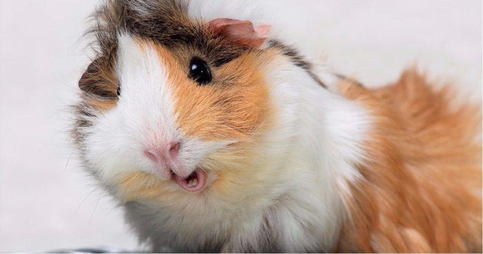 Картинки домашніх морських свинок - красиві, милі та веселі