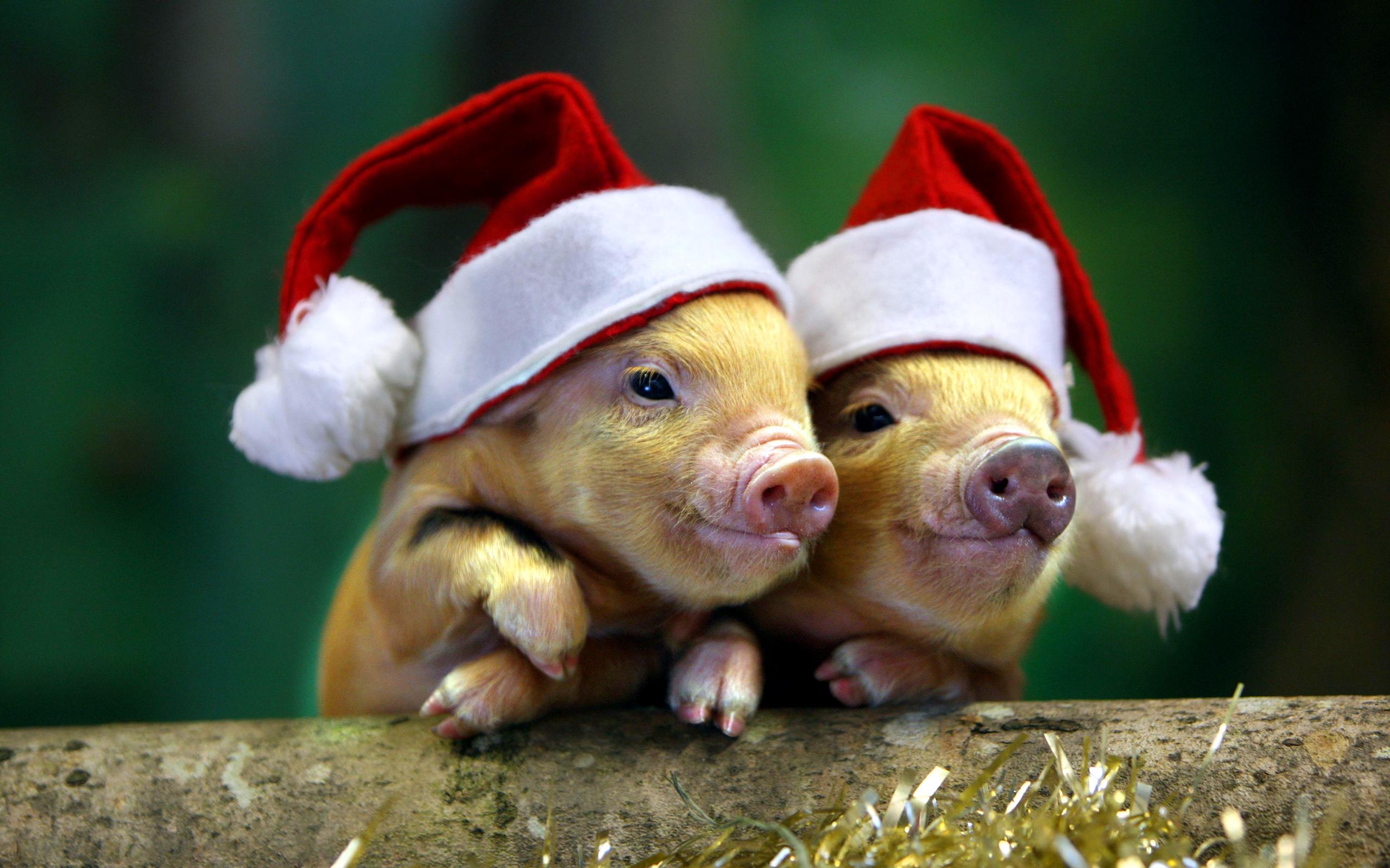 Нові новорічні шпалери на робочий стіл 2019 зі свинками, поросятками та кабанчиками