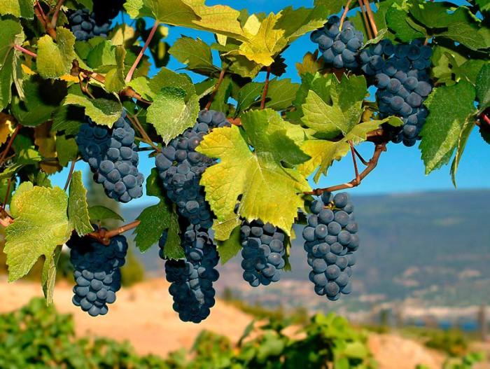 Фото: Виноградна лоза