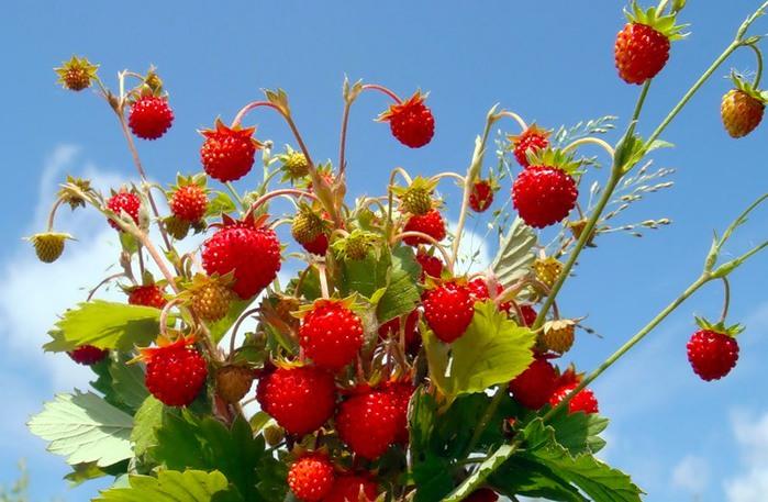 Суниця лісова ягода або садова