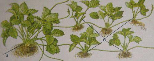 Корінь, вуса і листя суниці