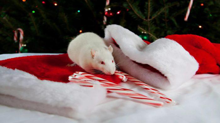 Цікаві заставки на рік Щура, Пацюка на робочий стіл