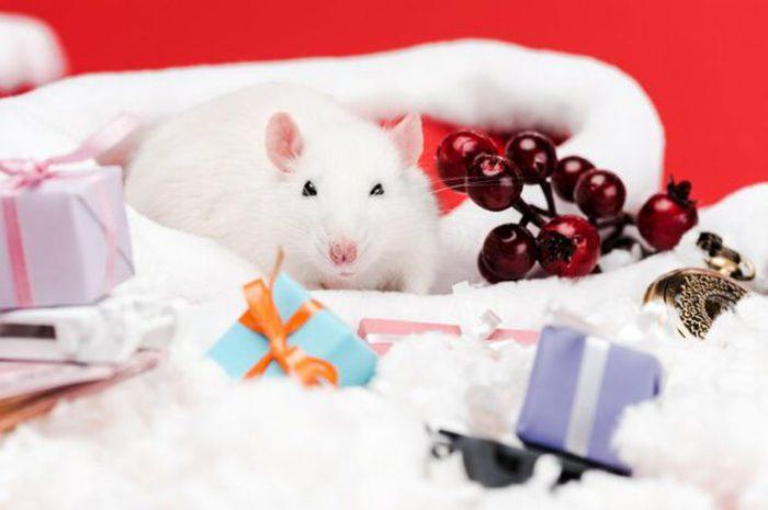 Прикольні фото-картинки з щурами та пацюками
