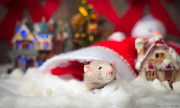 Цікаві картинки на рік Щура, Пацюка