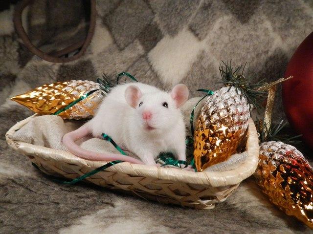 Безкоштовні фото-картинки з мишами на Новий рік