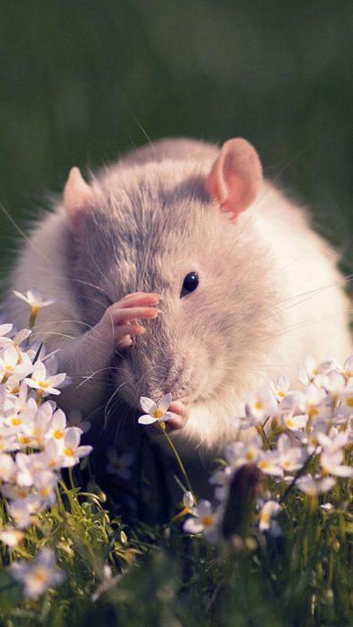 Оригінальні фото-заставки з новорічними мишками, щурами, пацюками на телефон