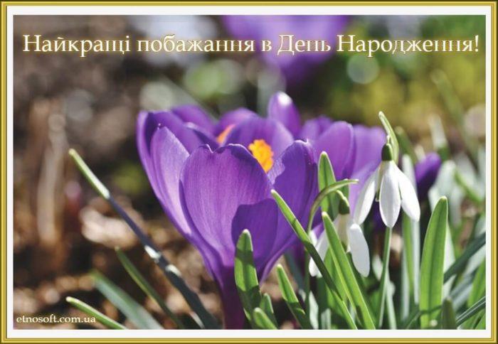 Гарна листівка на день народження - весняні квіти крокуси
