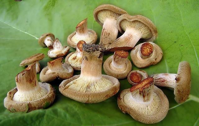 Як солити гриби свинушки – рецепт заготівлі грибів свінух на зиму